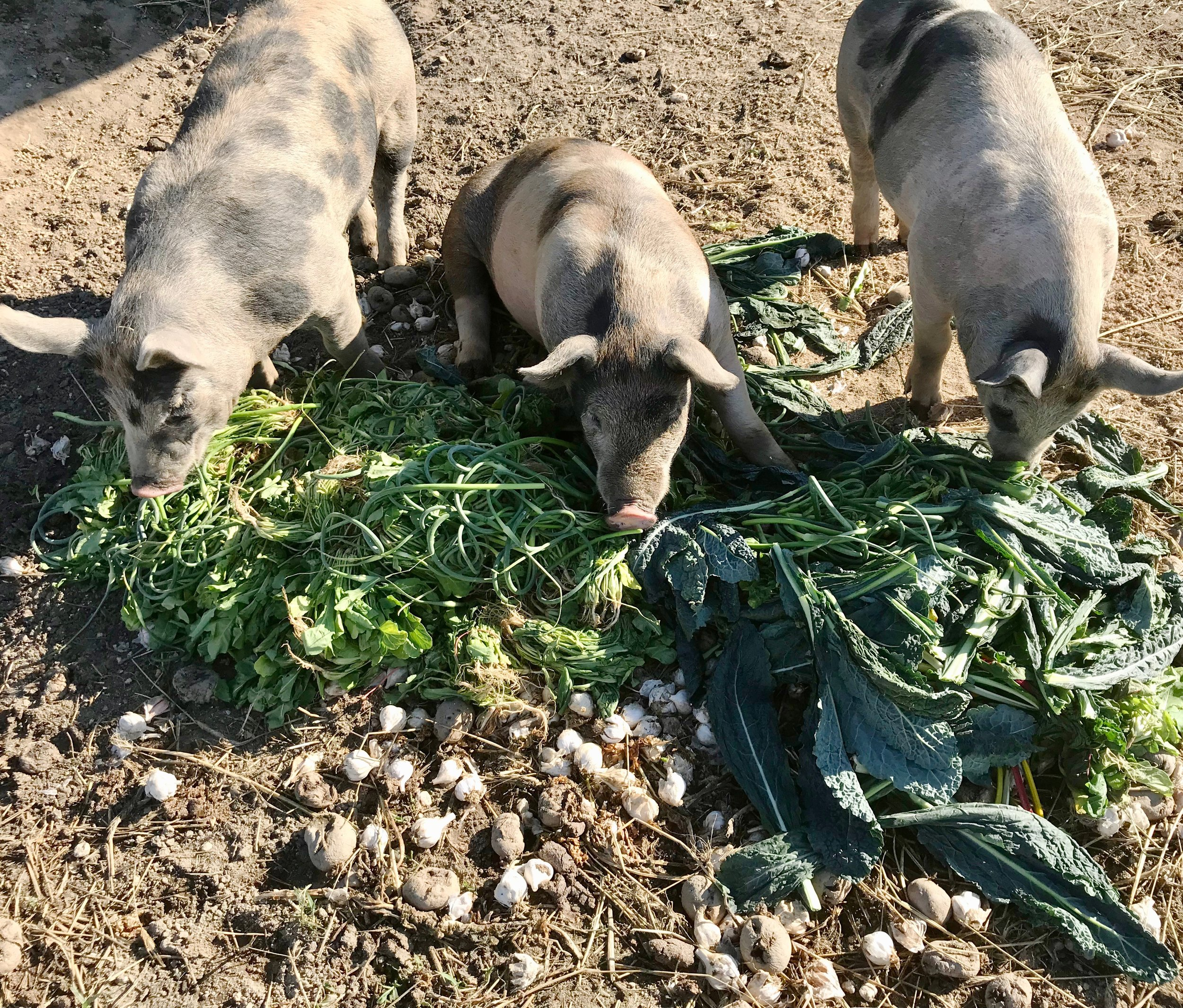 pigs with veg.jpg