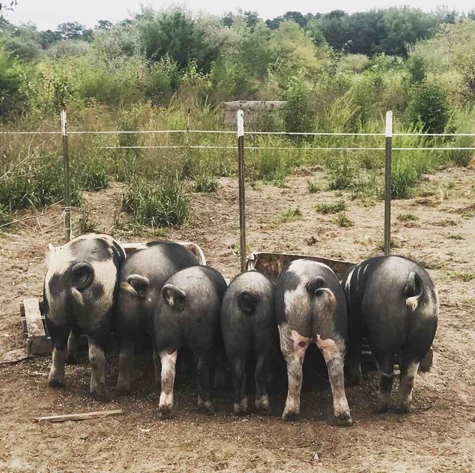 pigs2019 butts.jpg