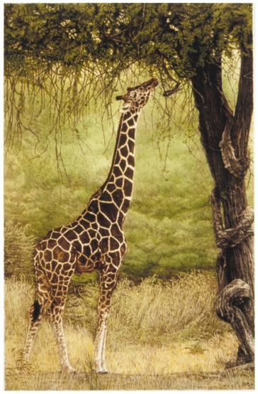 """Lofty Aspirations""   by Dennis Curry    The reticulated giraffe, marked quite differently from the more common Masai giraffe, is the focus of this study of pattern and form."