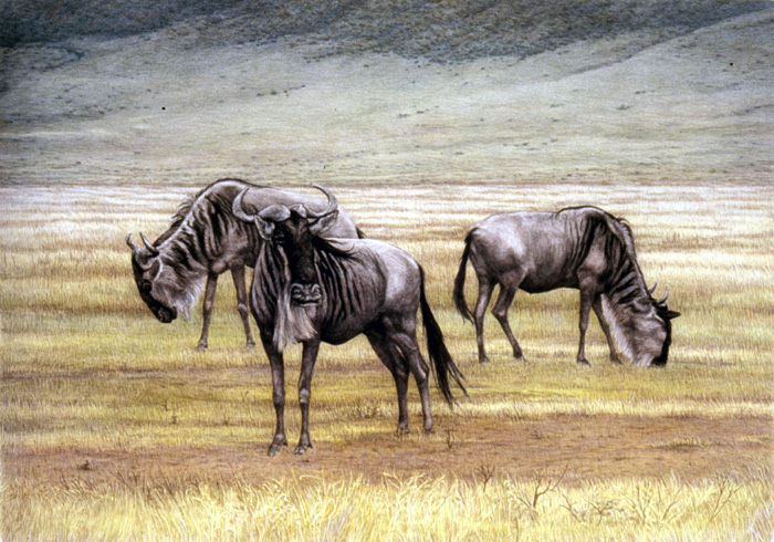 """Wildebeest in Ngorongoro"" by Dennis Curry"