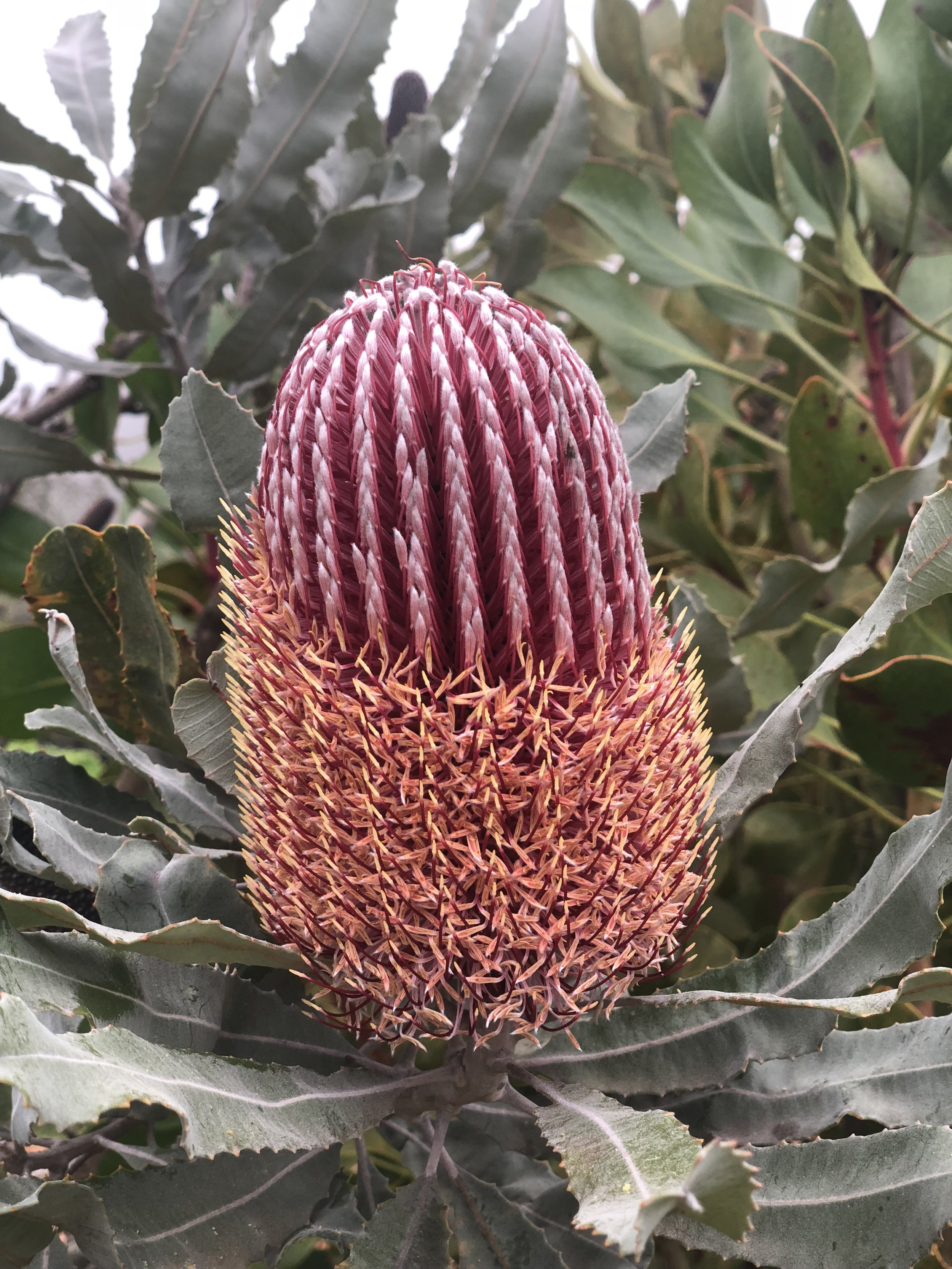 Protea found at the Maui Lavender Fields