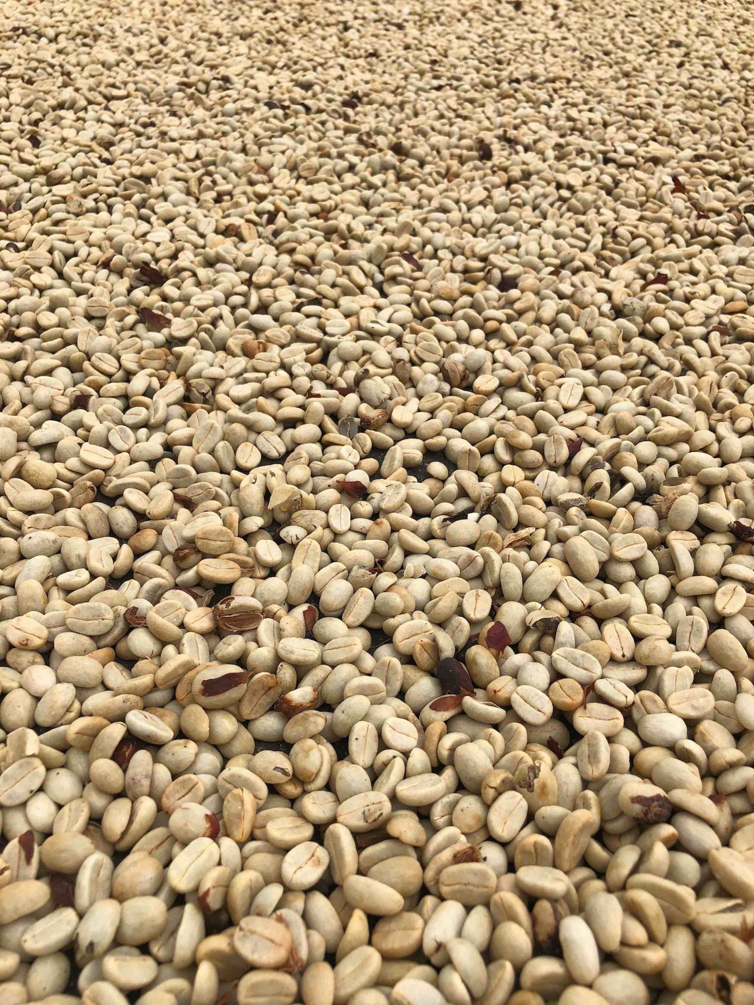 coffee beans from Kona set out to dry before being peeled and roasted