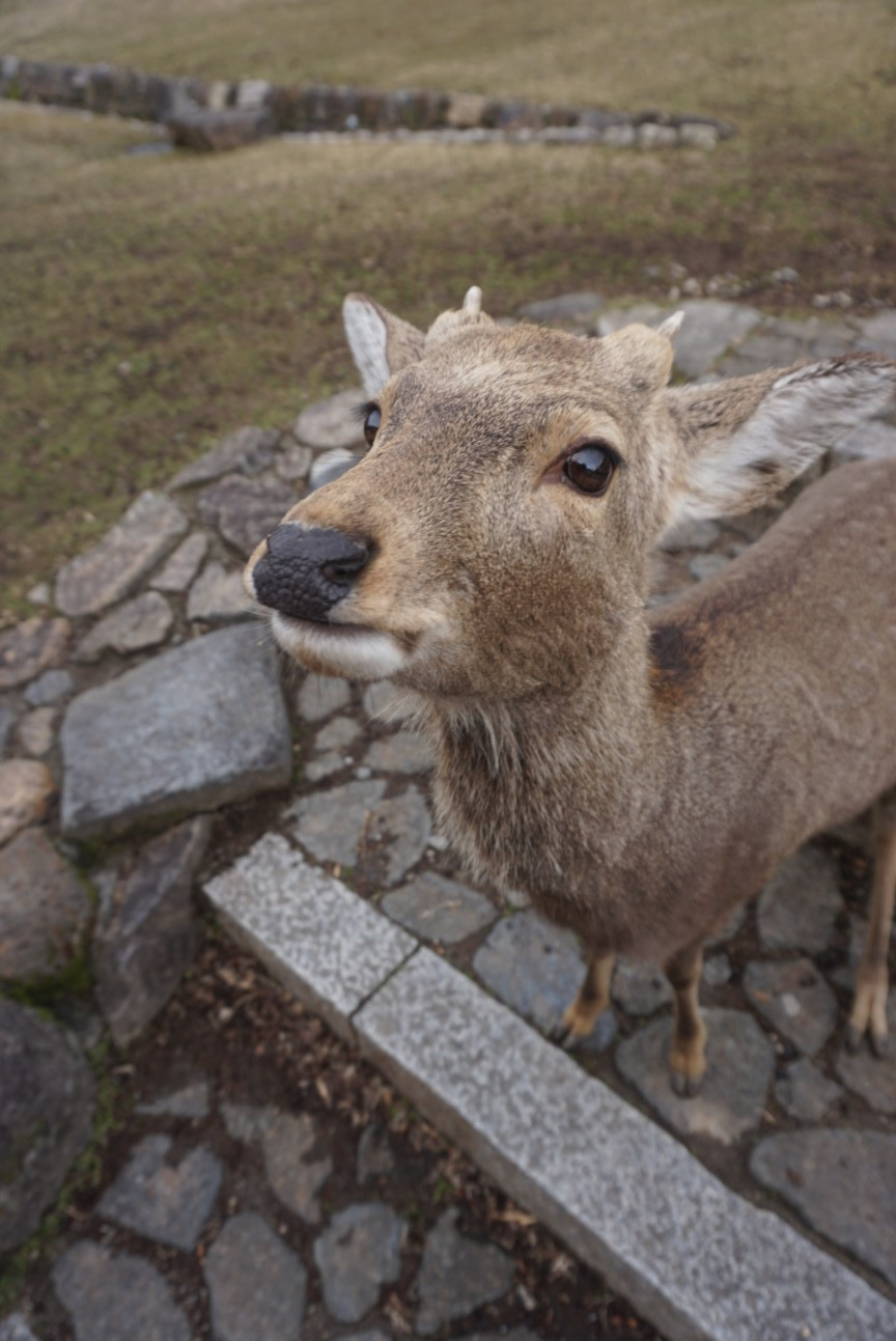 Cute deer close up in Nara Japan
