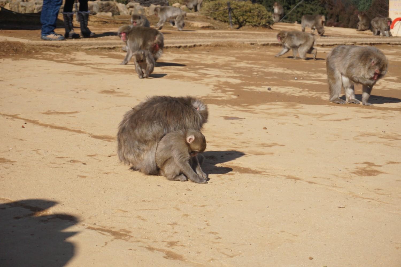Arashiyama Monkey Park in Kyoto, Japan.