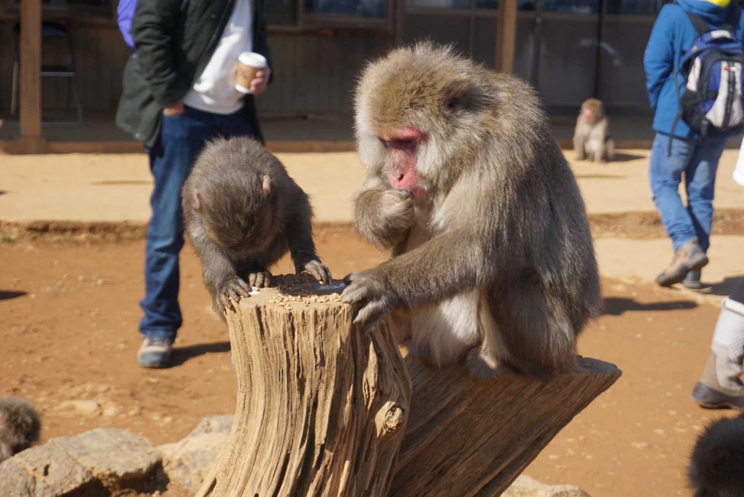 Baby monkey and mother eat seeds at monkey park in Kyoto, Japan.