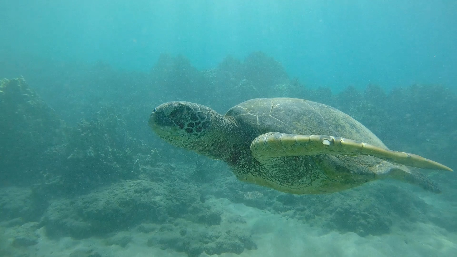 Scuba diving with sea turtles in Maui, Hawaii.
