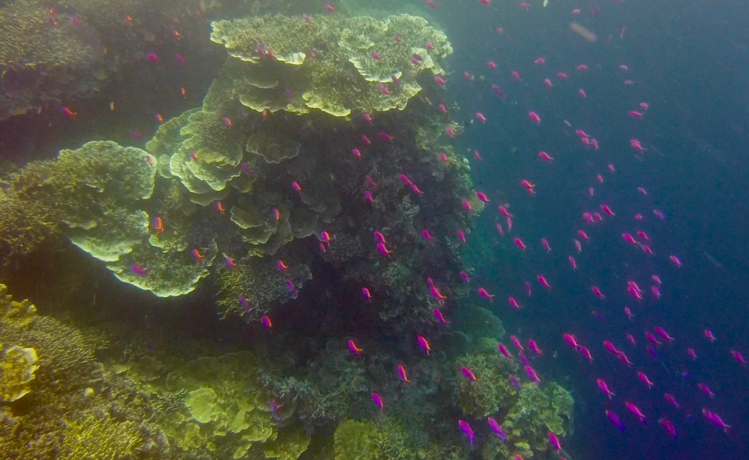 pretty pink tropical fish off the coast of Cebu in the Philippines. boldlygotravel.com