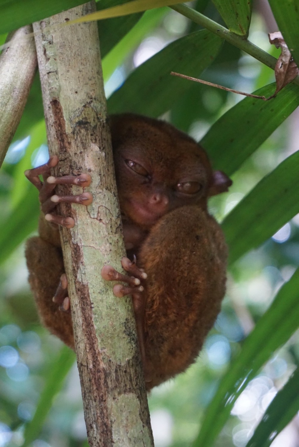 The worlds smallest primate at Tarsier clings onto a tree in Bohol, Philippines. boldlygotravel.com