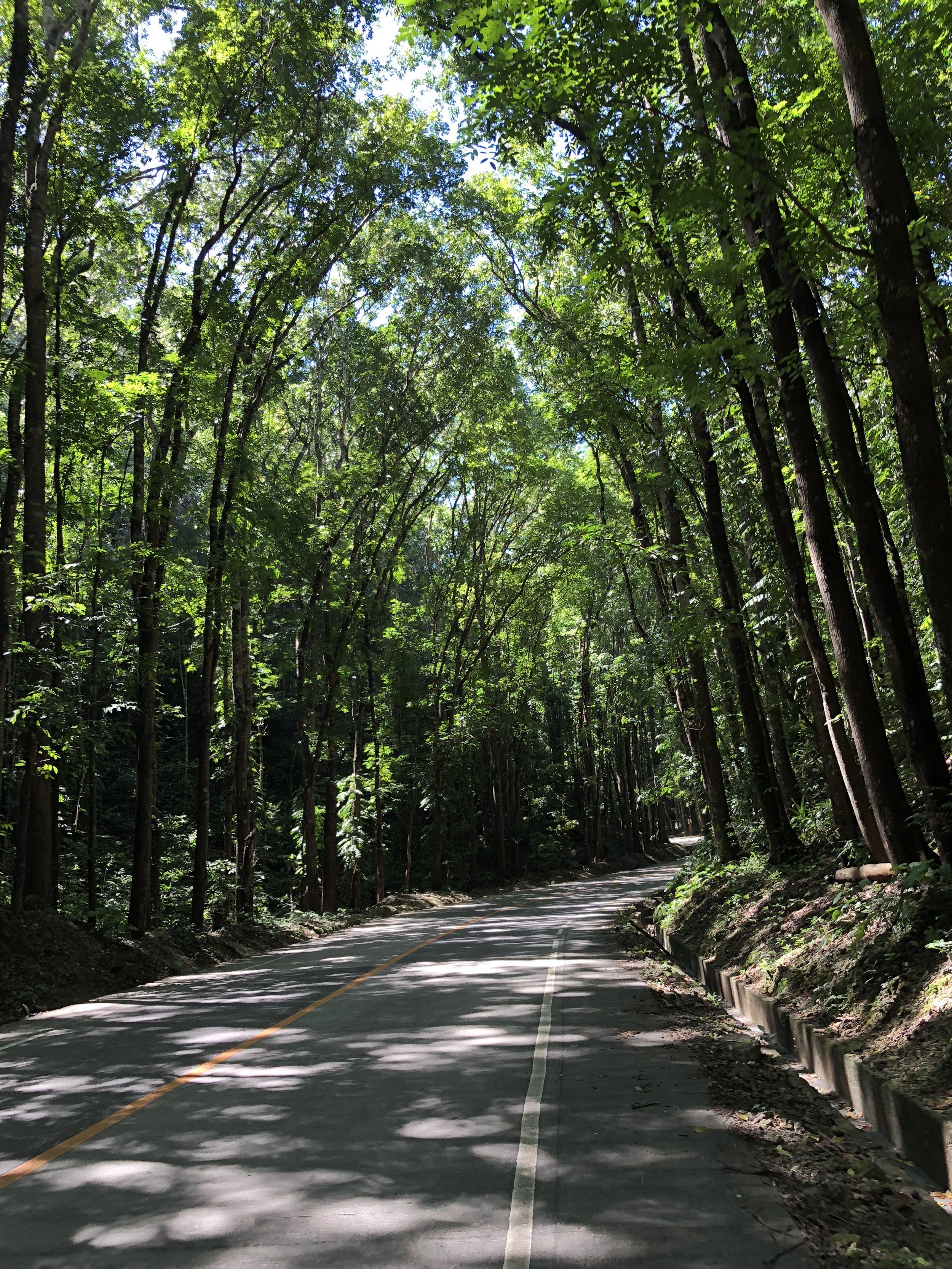 The Bohol Mahogany Forest in the Philippines. boldlygotravel.com