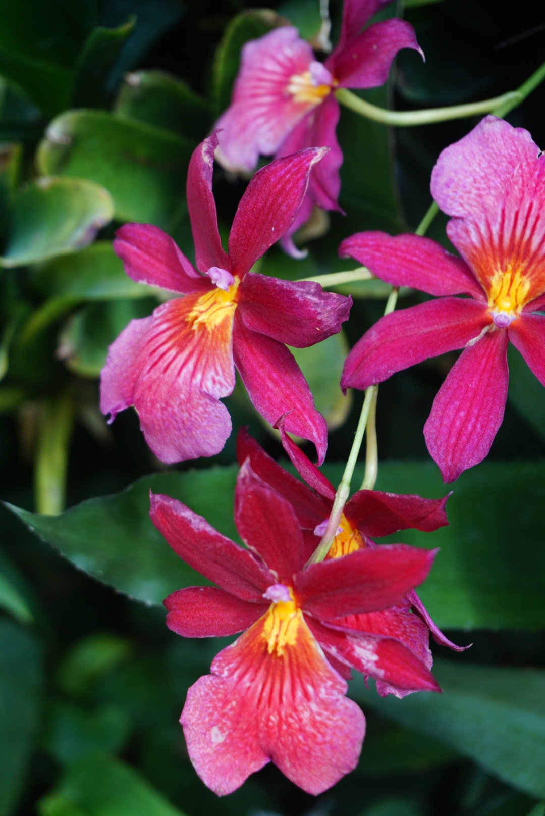 domepinkorchids.jpg