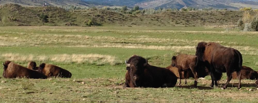 buffalo copy.jpg