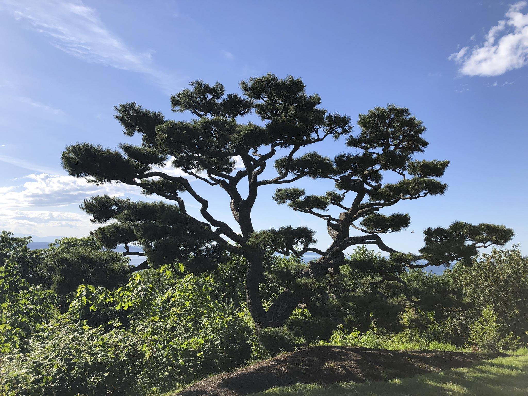 Shore Pine Pruning