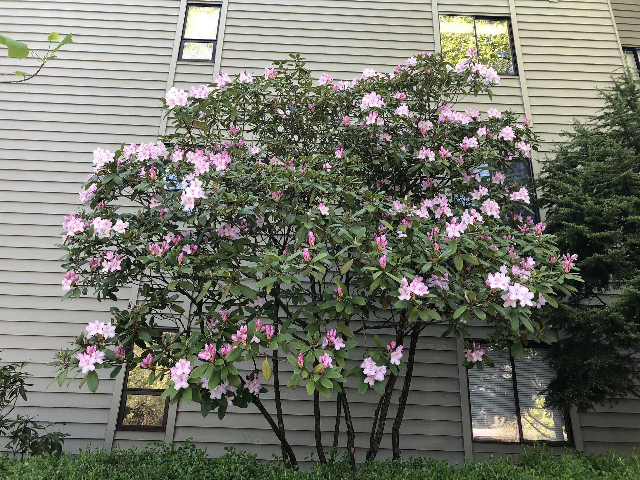 Rhodie Pruning