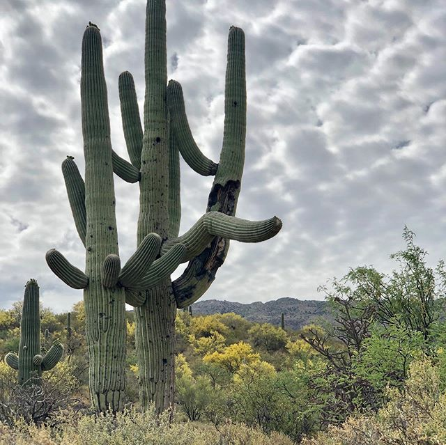 What an awesome morning taking a hike in the Saguaro National Park.  So many species of beauty blooming.  It was the first time we had ever seen a Saguaro bloom! The blossoms look like candied flowers... I feel a song coming on 😉🎼. #oxygenonemberstour #southwestrevival #saguaronationalpark #cactusblossoms #arizona #getoutside #usnationalparks #oxygenonembersmusic #musicisnature #pricklypear #desert