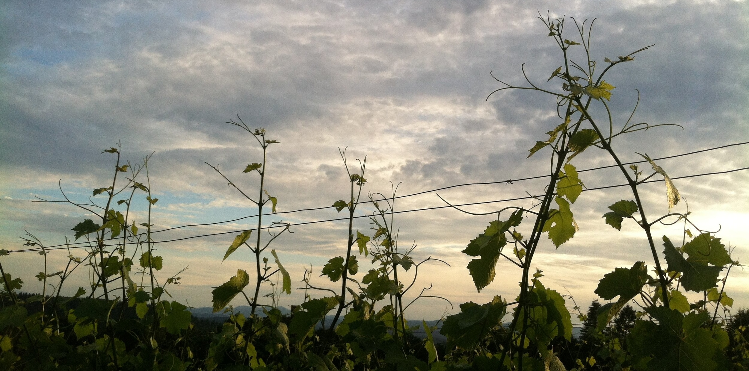 Vines in Oregon's Willamette Valley