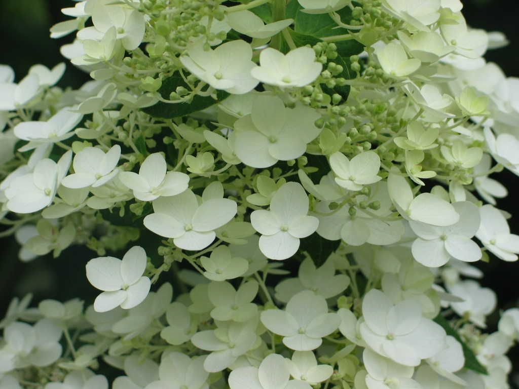 Hydrangea white I.JPG