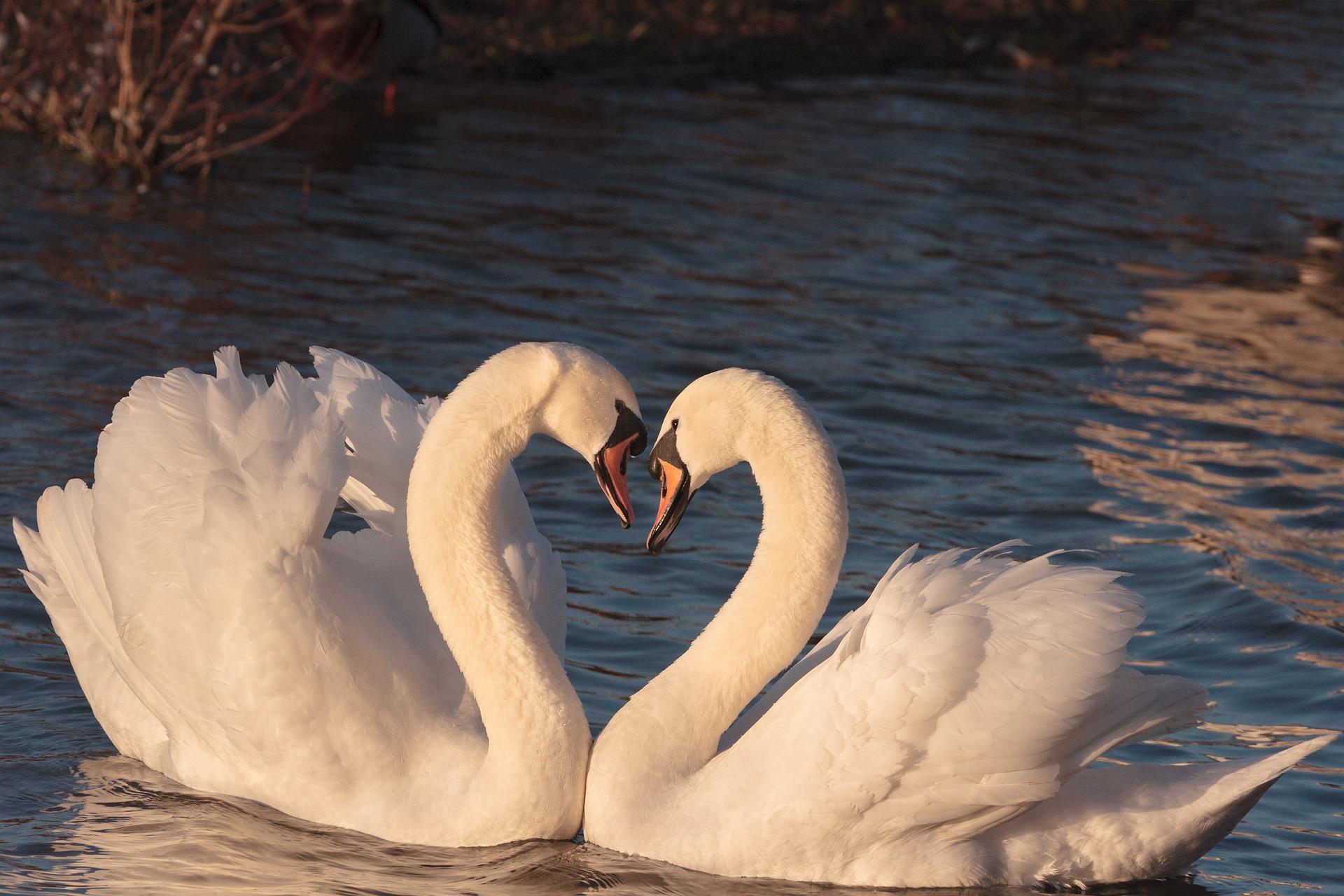 swans-pixa smaller.jpg