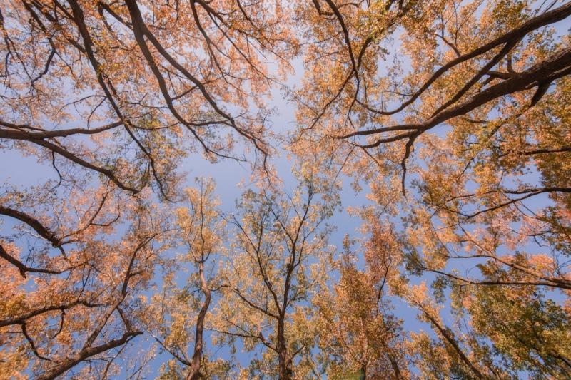 looking-up-at-fall-trees_4460x4460.jpg
