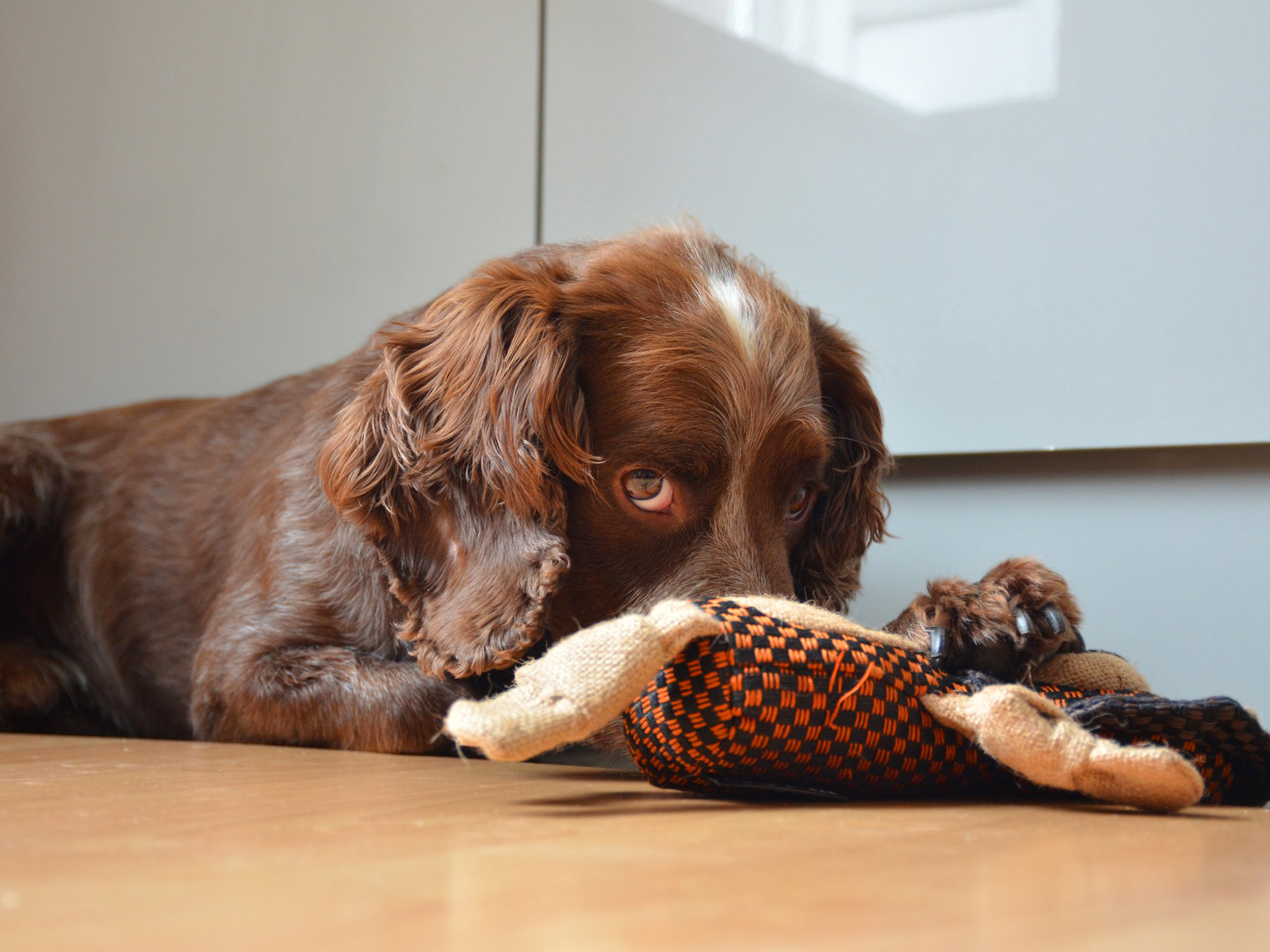 spaniel with toy (photo group FB).jpg
