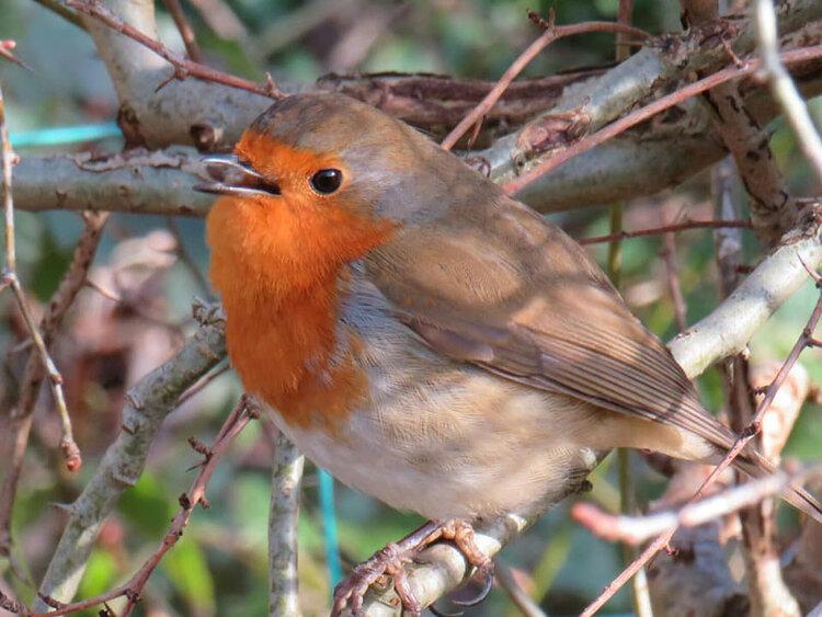 4x3 red robin.jpg