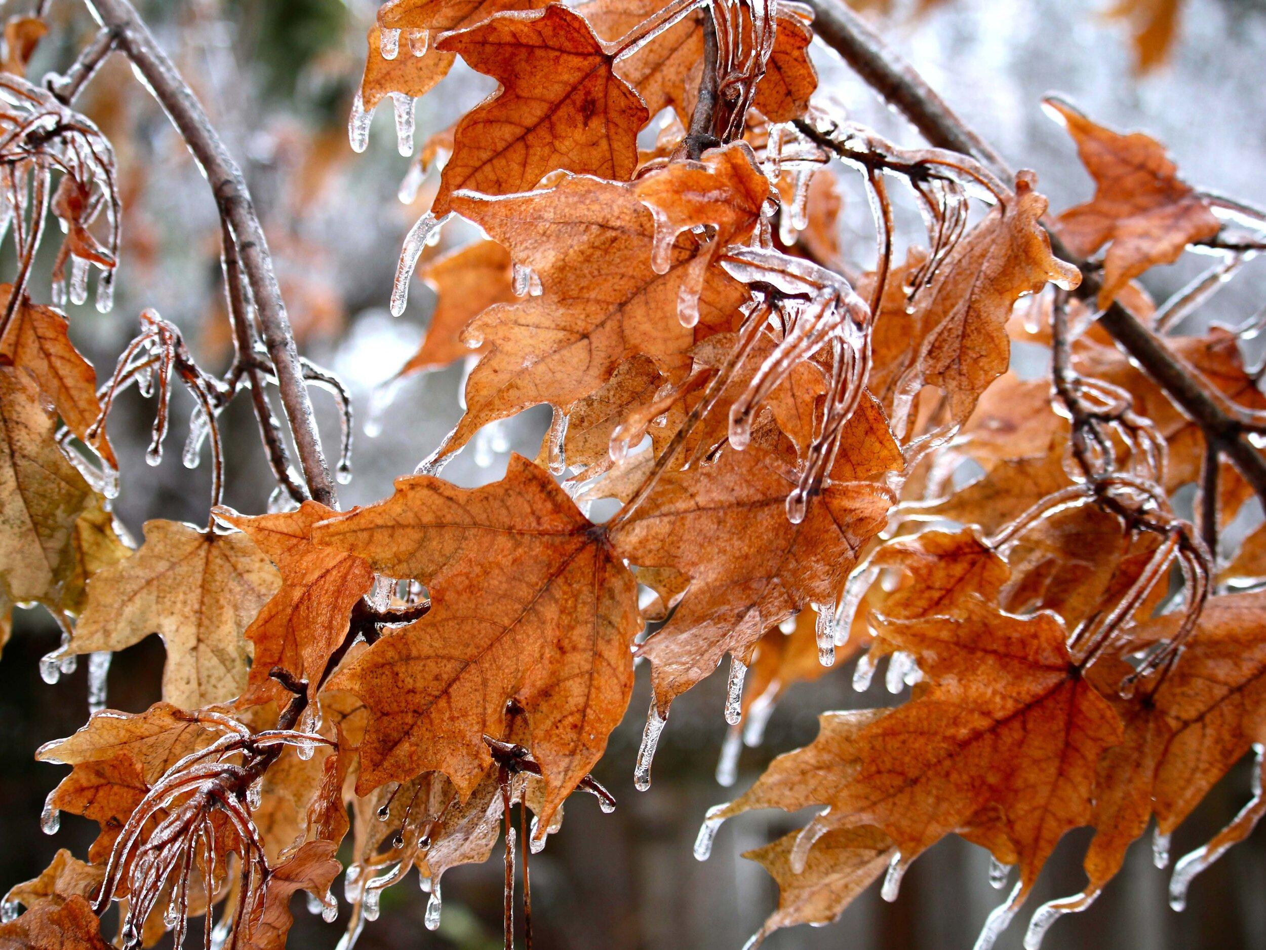 4x3 ice-coated-leaves_4460x4460.jpg