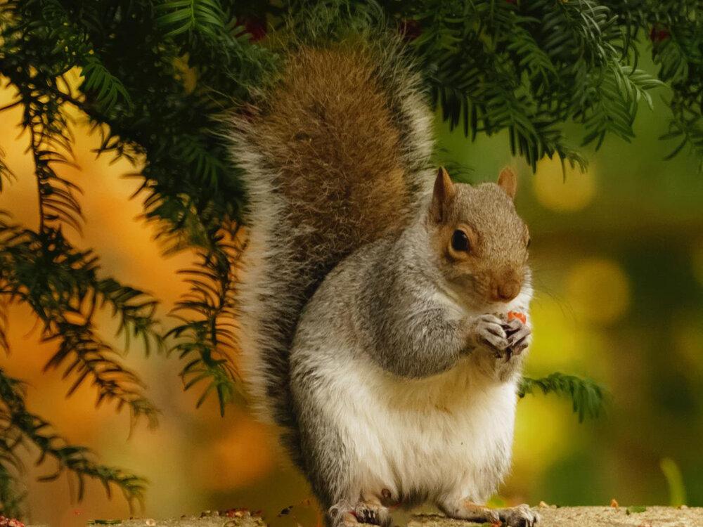 4x3 squirl.jpg