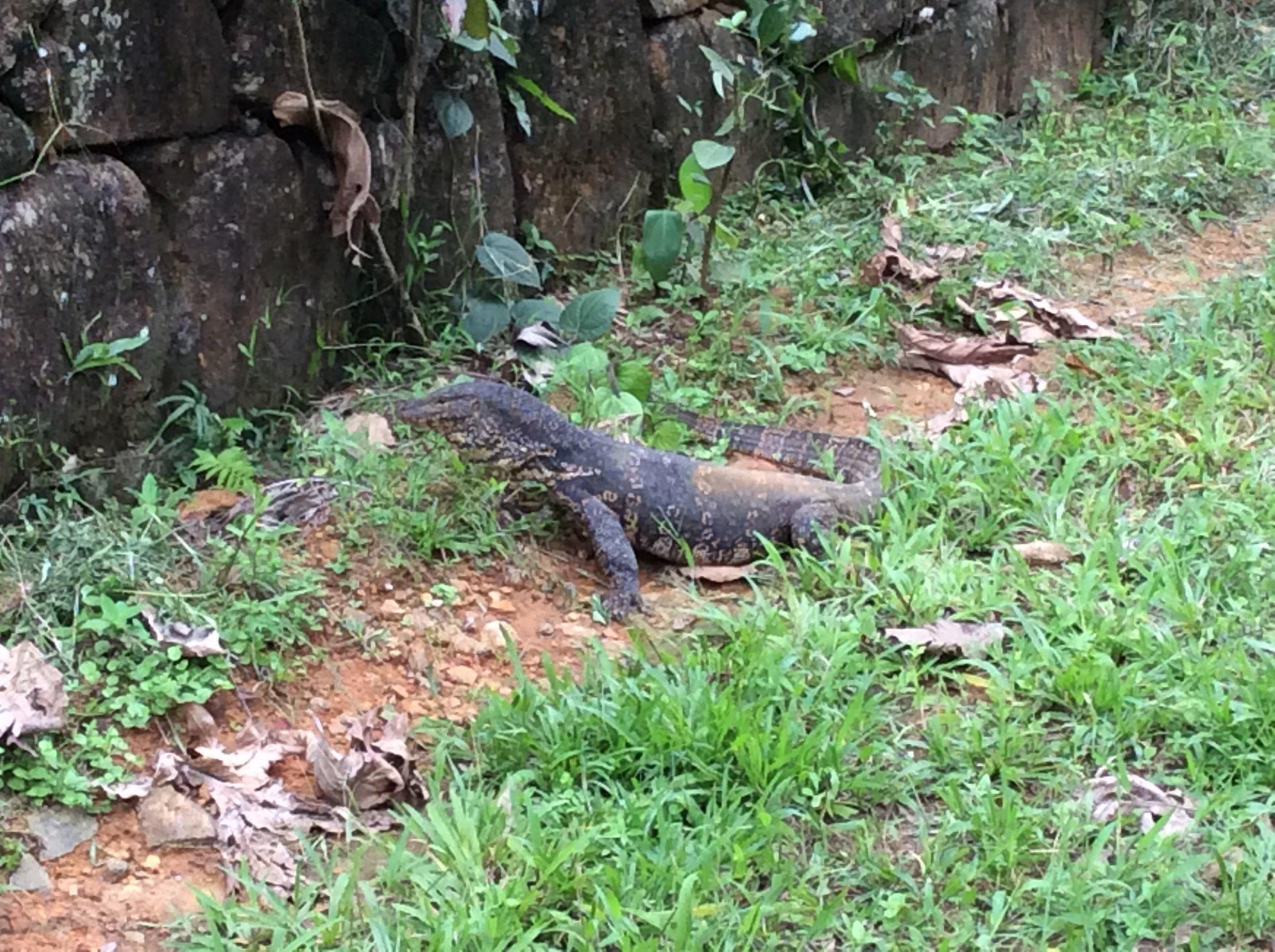 Fauna - Monitor Lizard.jpg