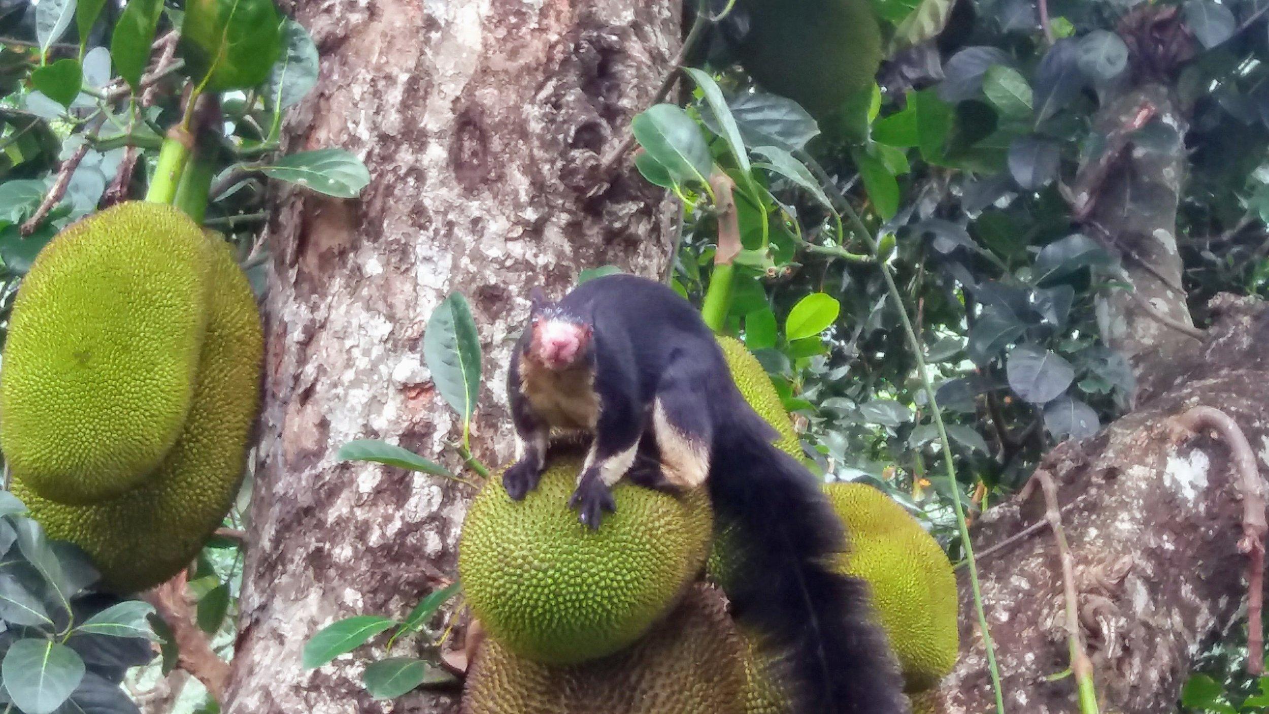 Fauna - Black Squirrel on Jack.jpg