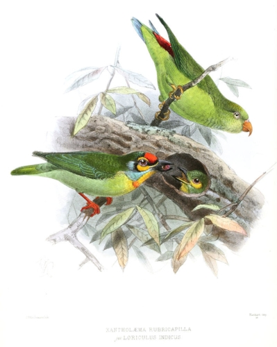 By John Gerrard Keulemans - A History of the Birds of Ceylon. Volume 1, Public Domain, https://commons.wikimedia.org/w/index.php?curid=10952809