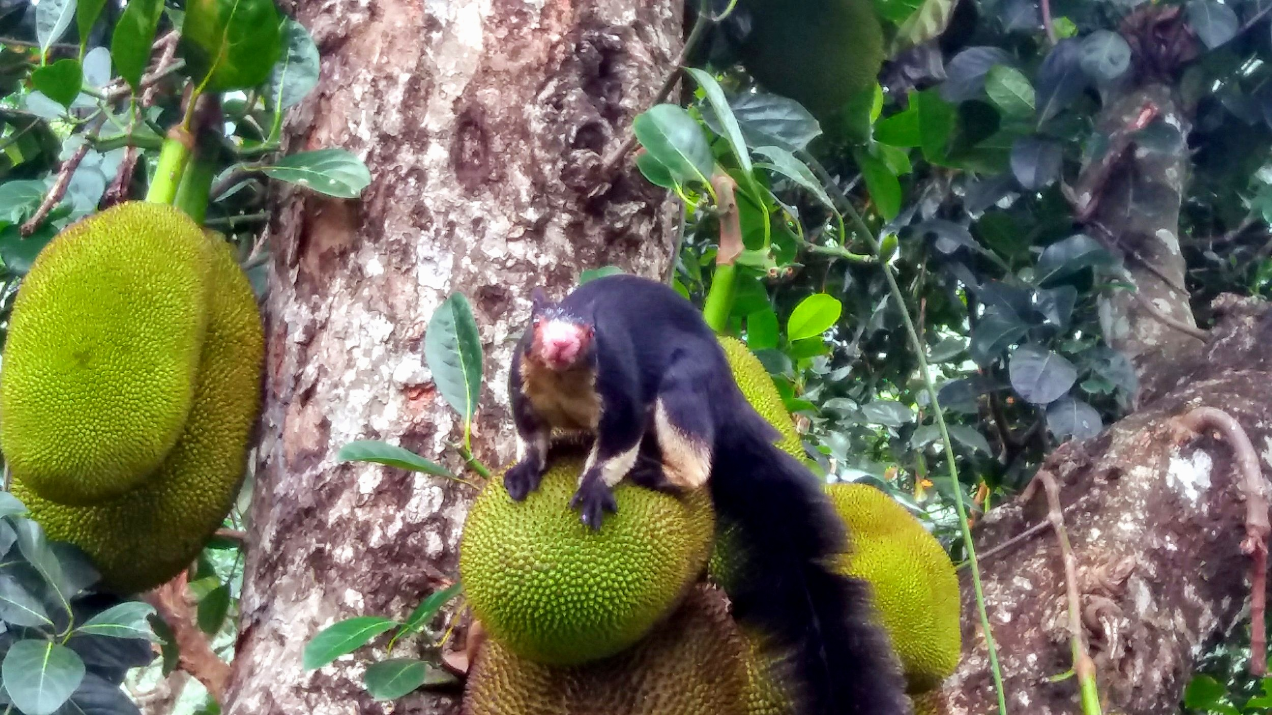 Daily spotted Giant Squirrel (hier checking our Jackfruits)