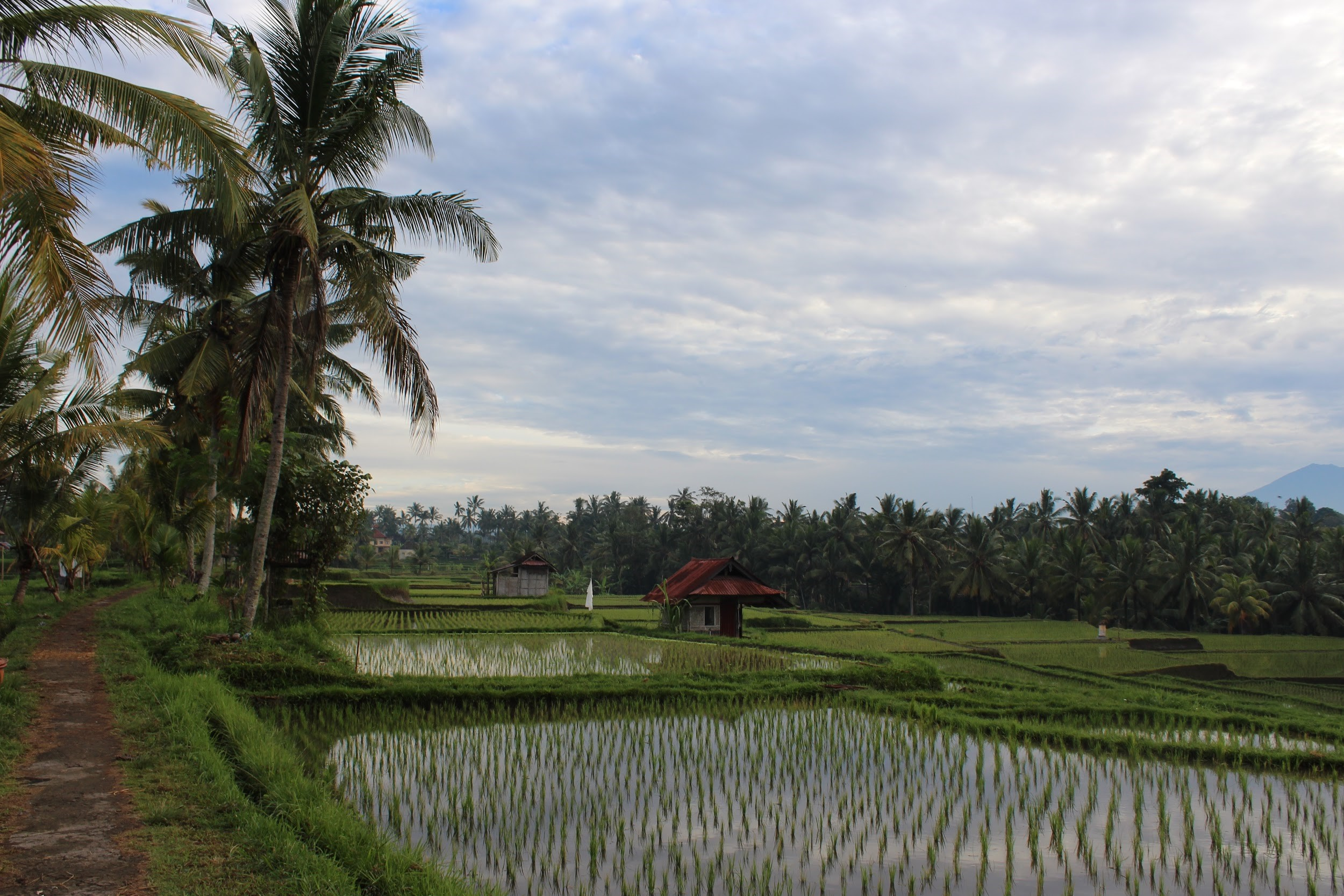 Rice paddy early in the morning