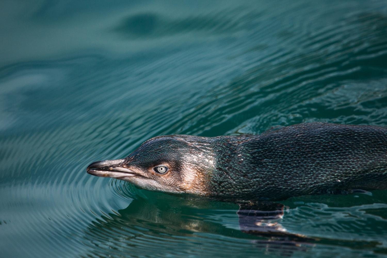 Little Blue Penguin - SS Size.jpeg