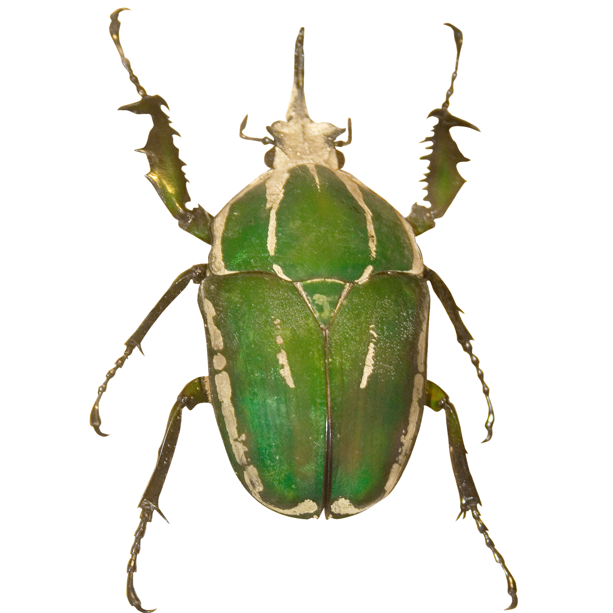 Green and White Beetle.png