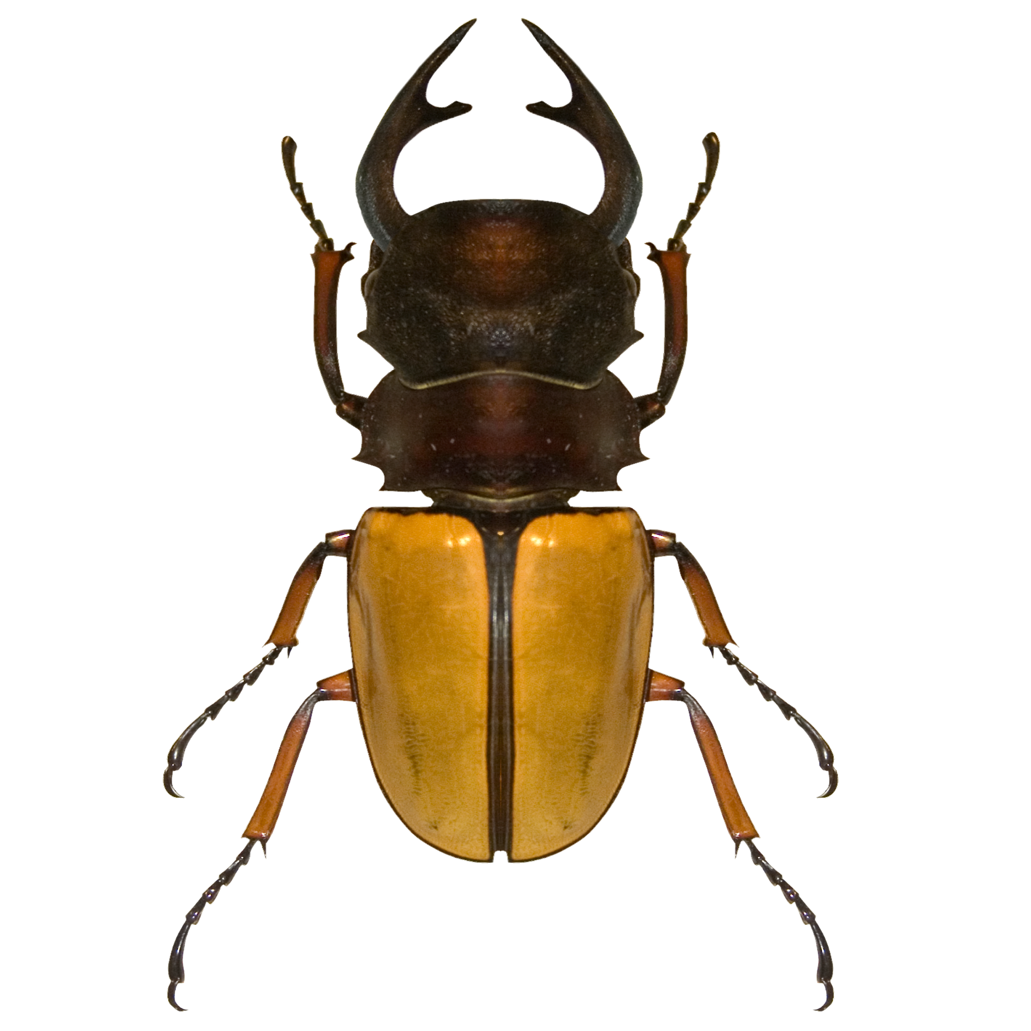 Yellow and Brown Beetle.png