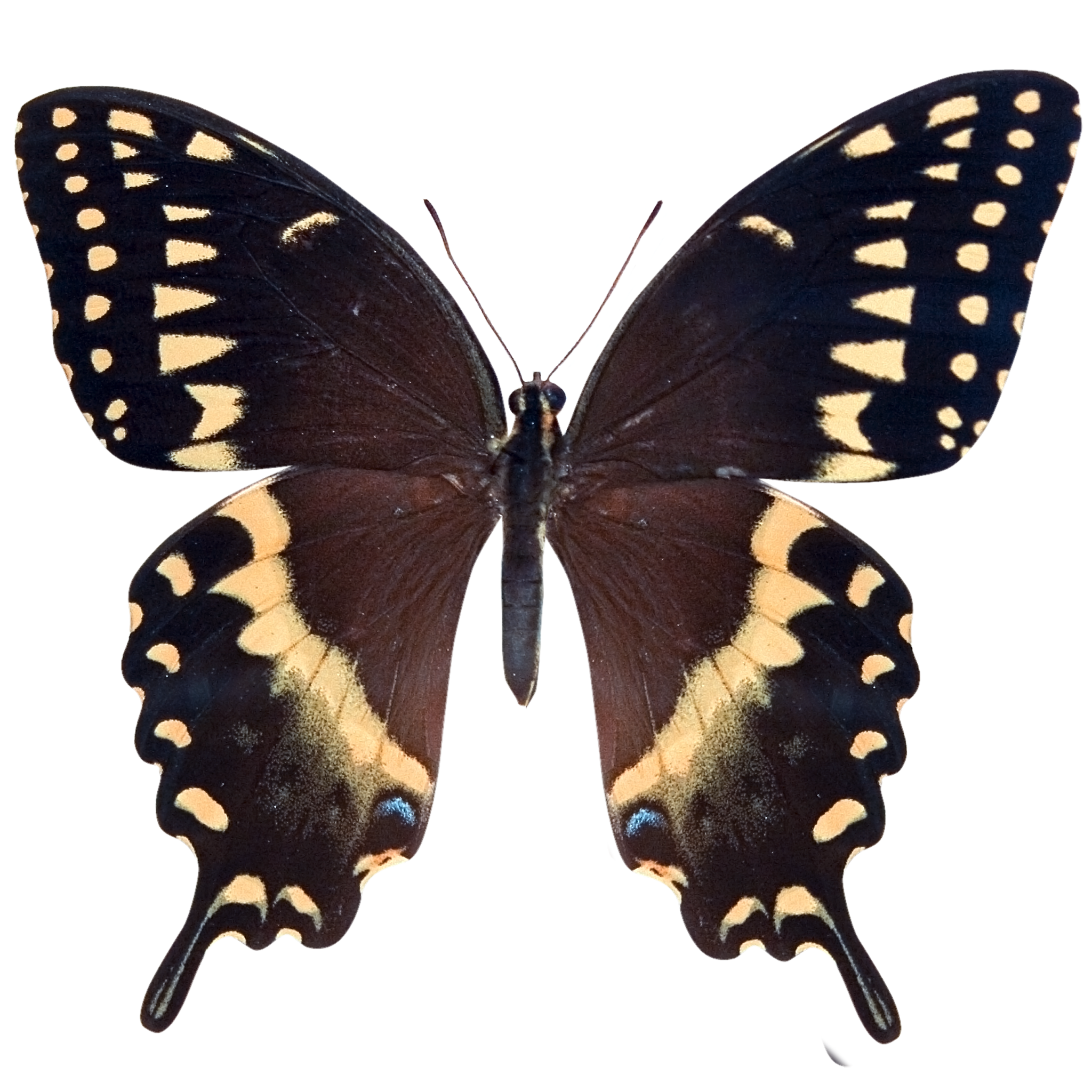 Baird's Old World Swallowtail.png