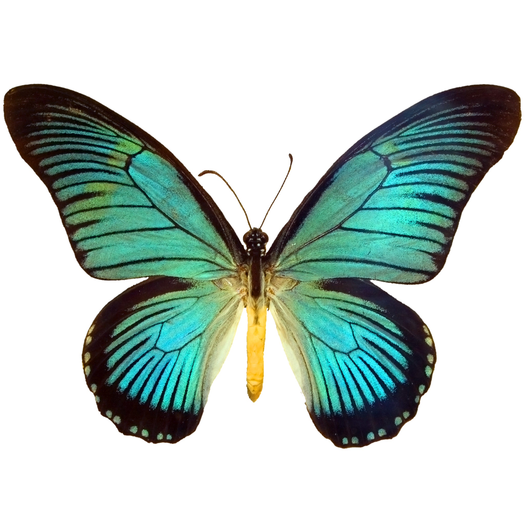 Black and Blue Papilio.png