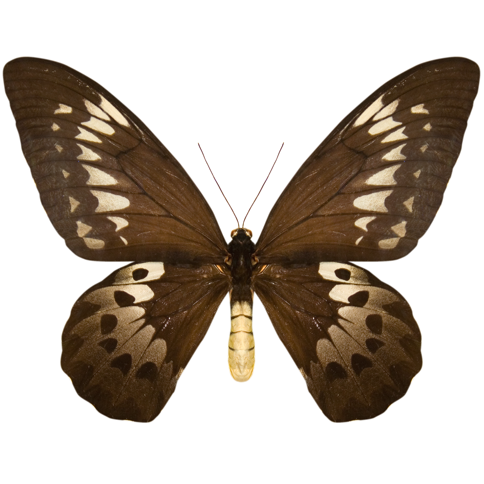 Black and Silver Butterfly.png