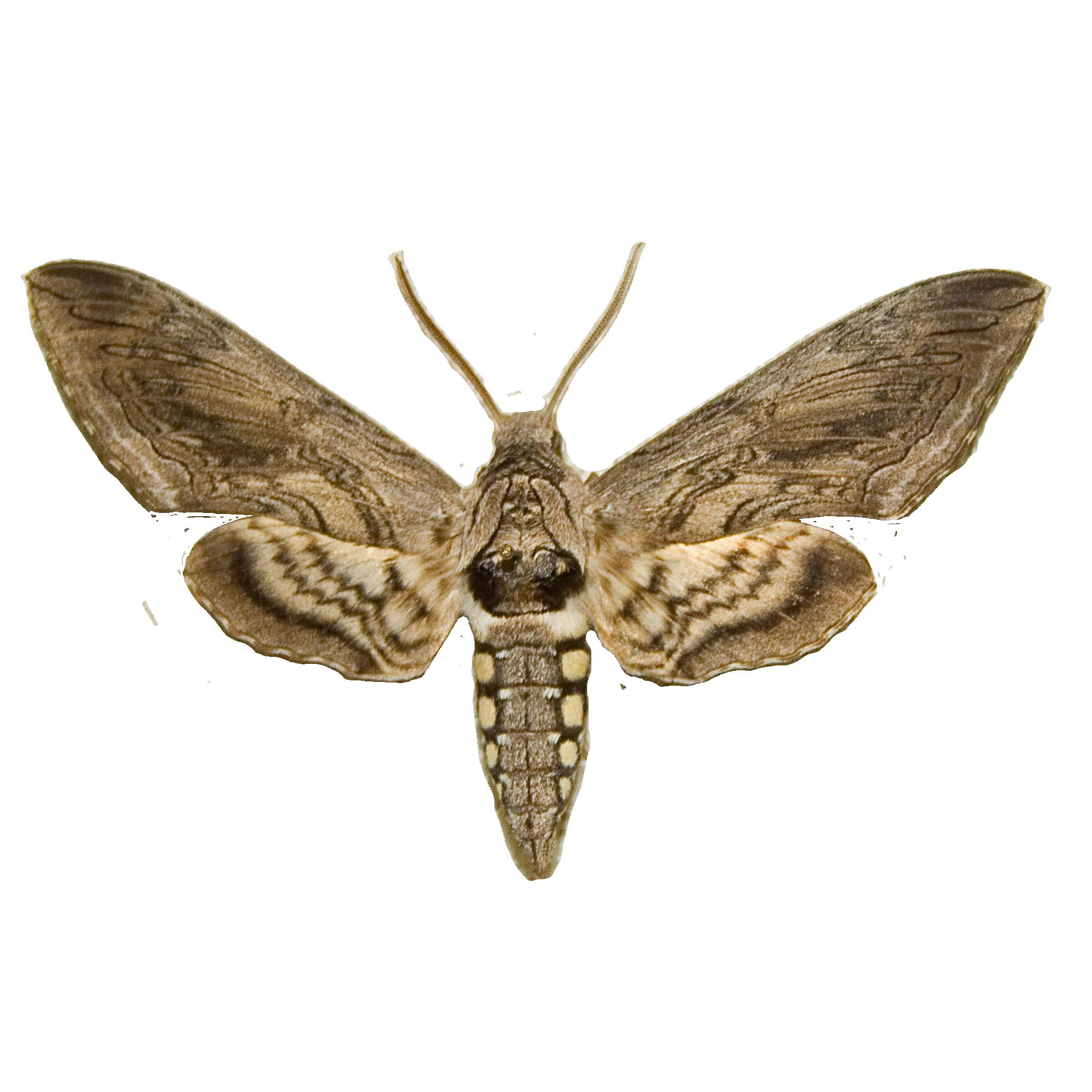 Hawk Moth.png
