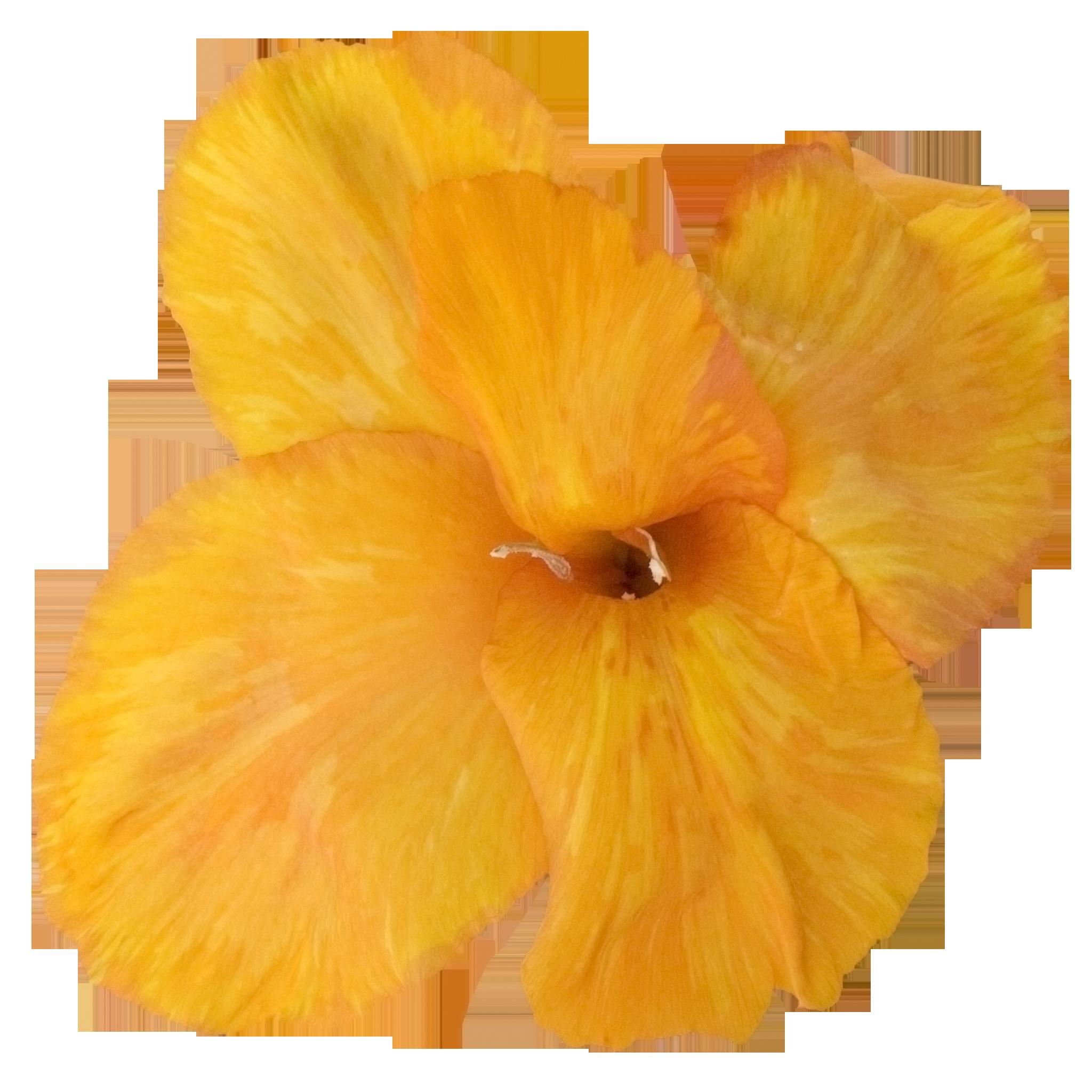 Gladiolus Orange.png