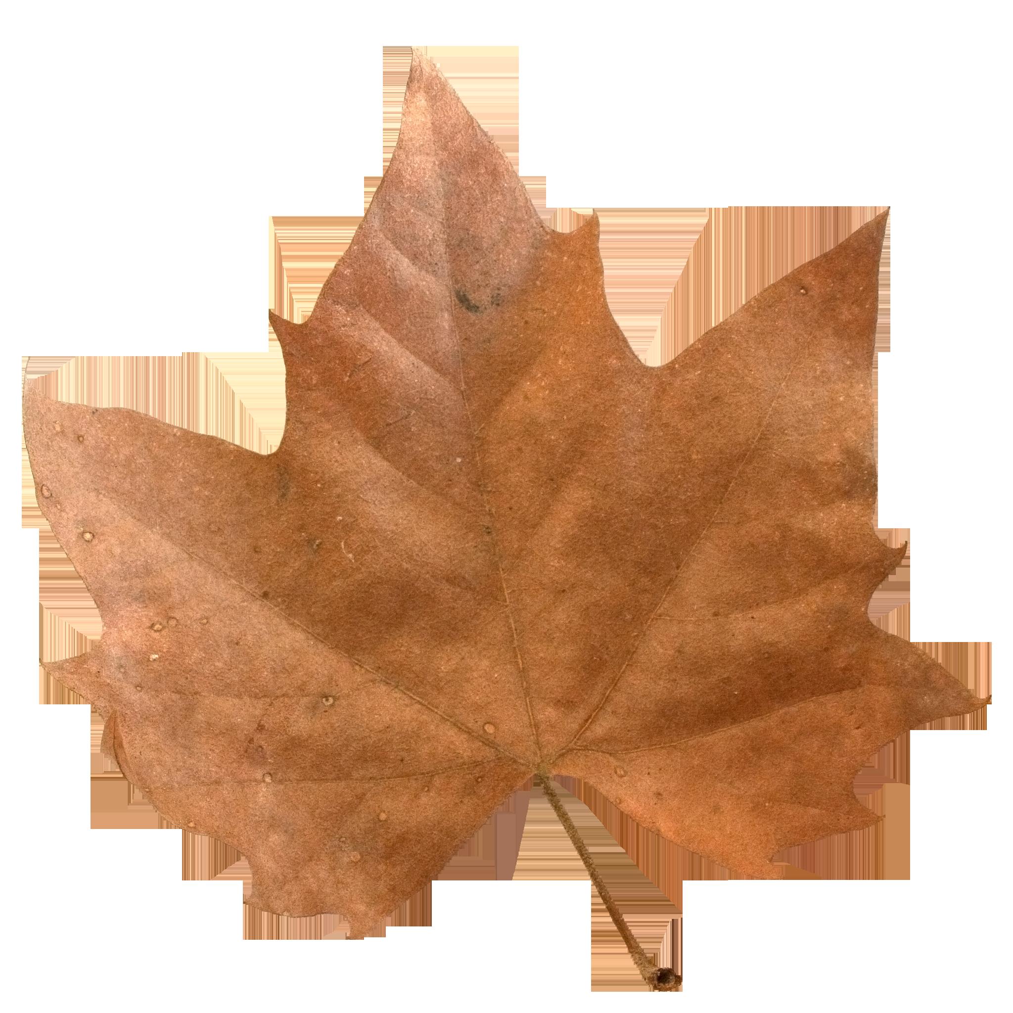 Brown Maple Leaf.png