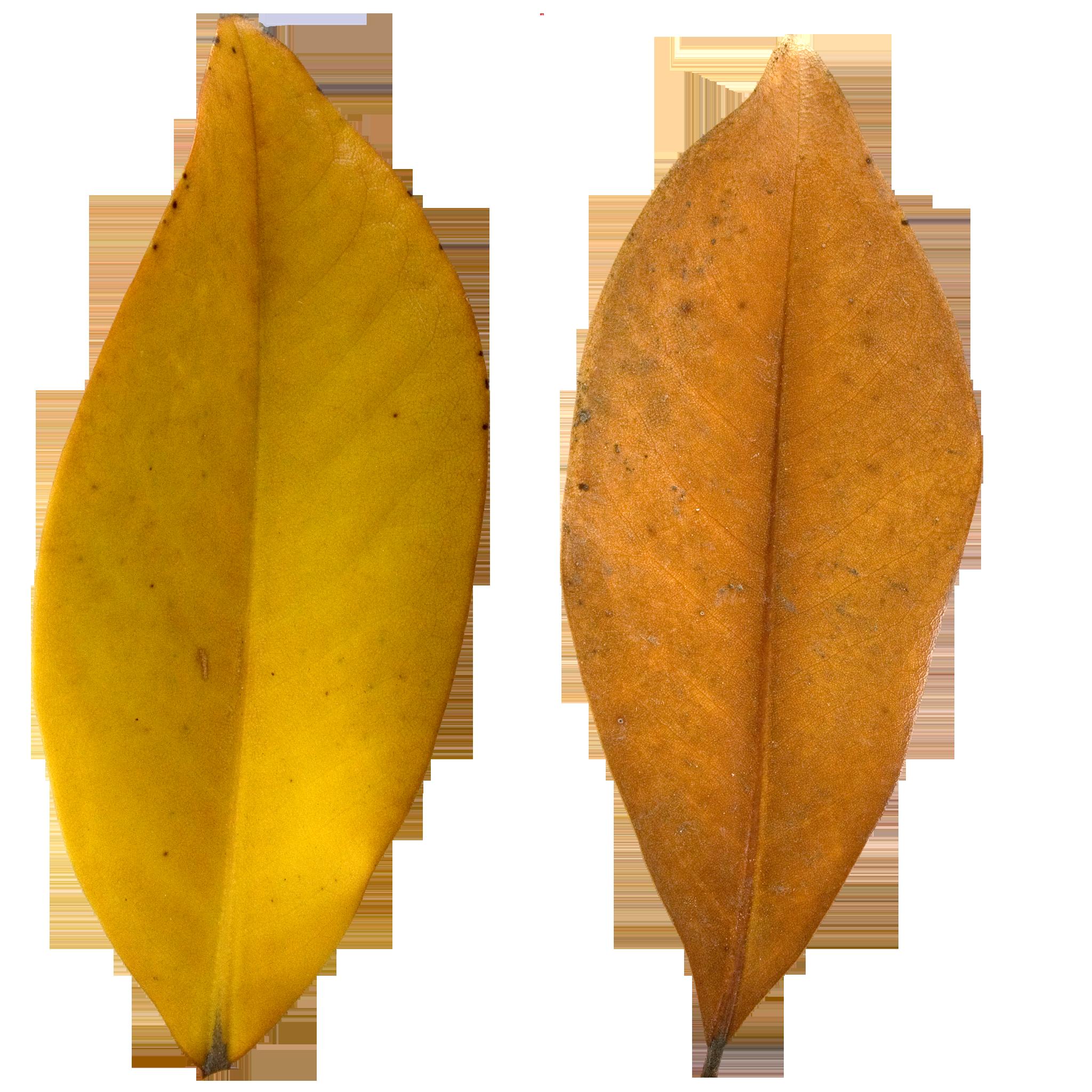 Brown Pear Leaf.png