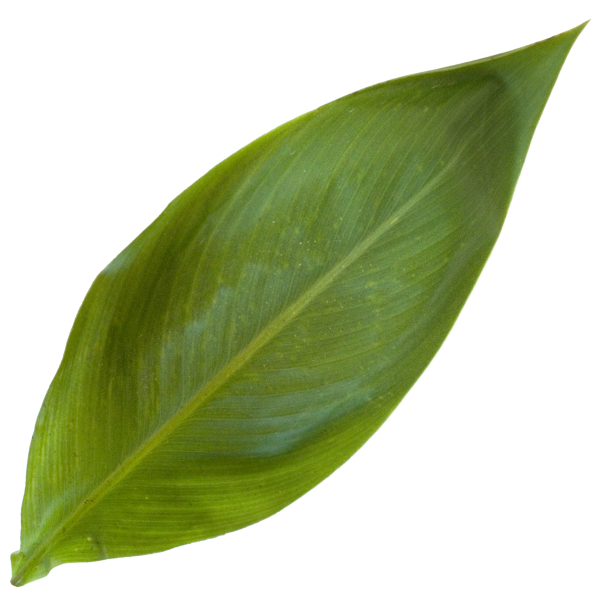 Canna Lilly Leaf.png