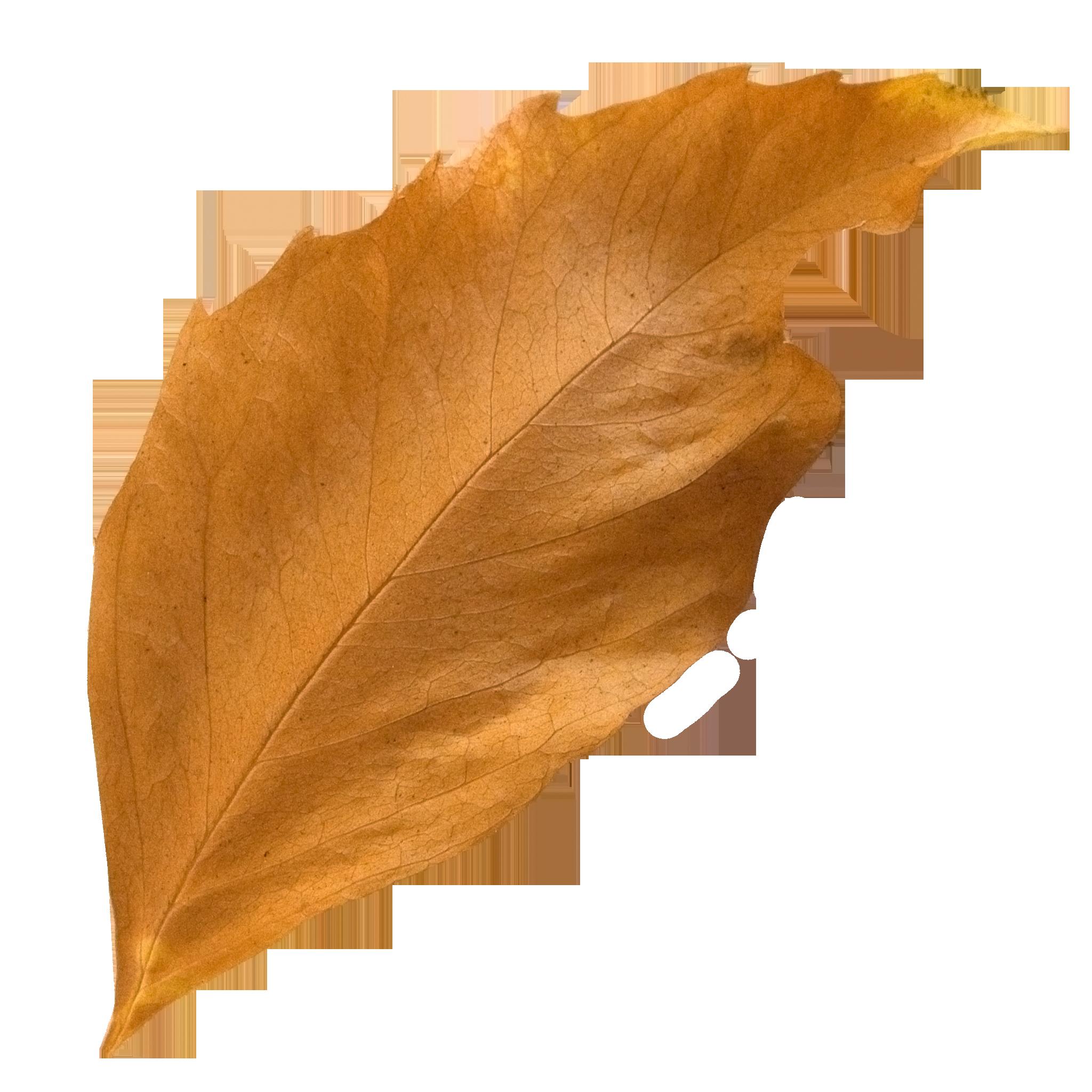 Curled Fall Leaf.png