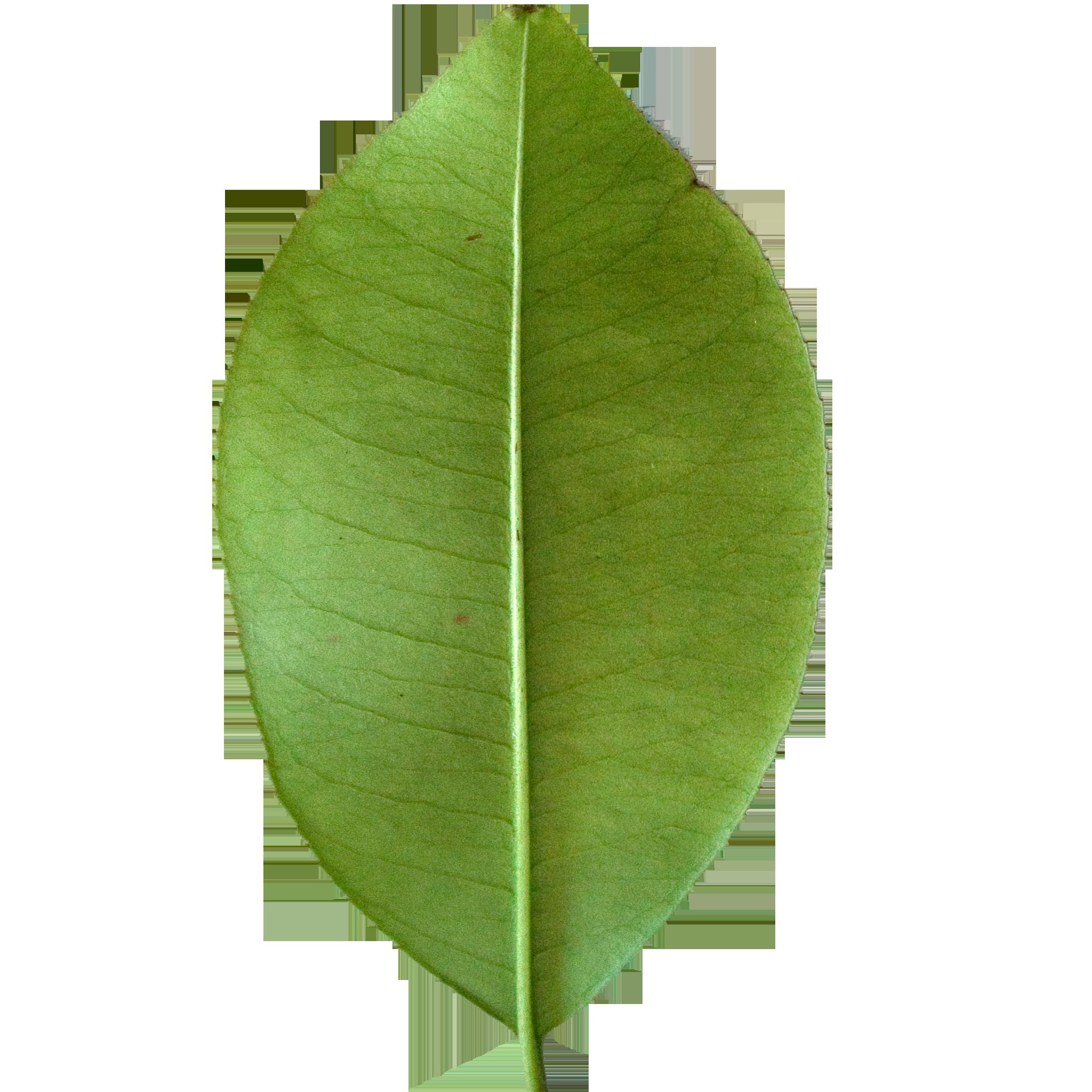Broad Lemon Leaf.png