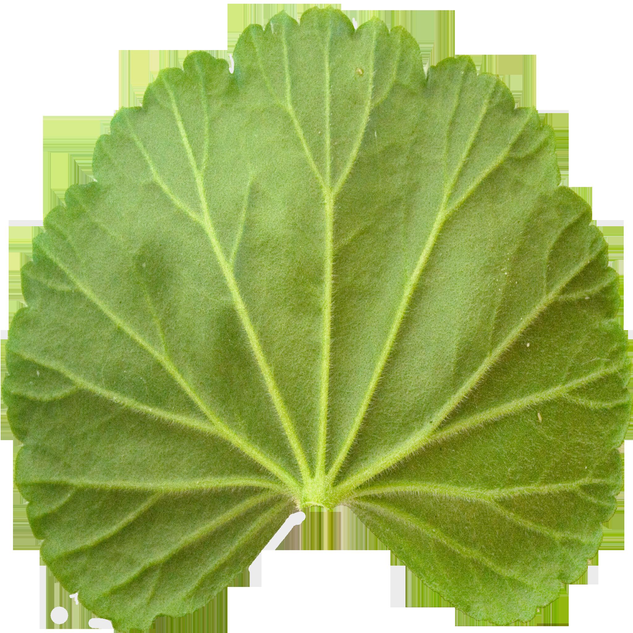 Bottom Geranium Leaf.png