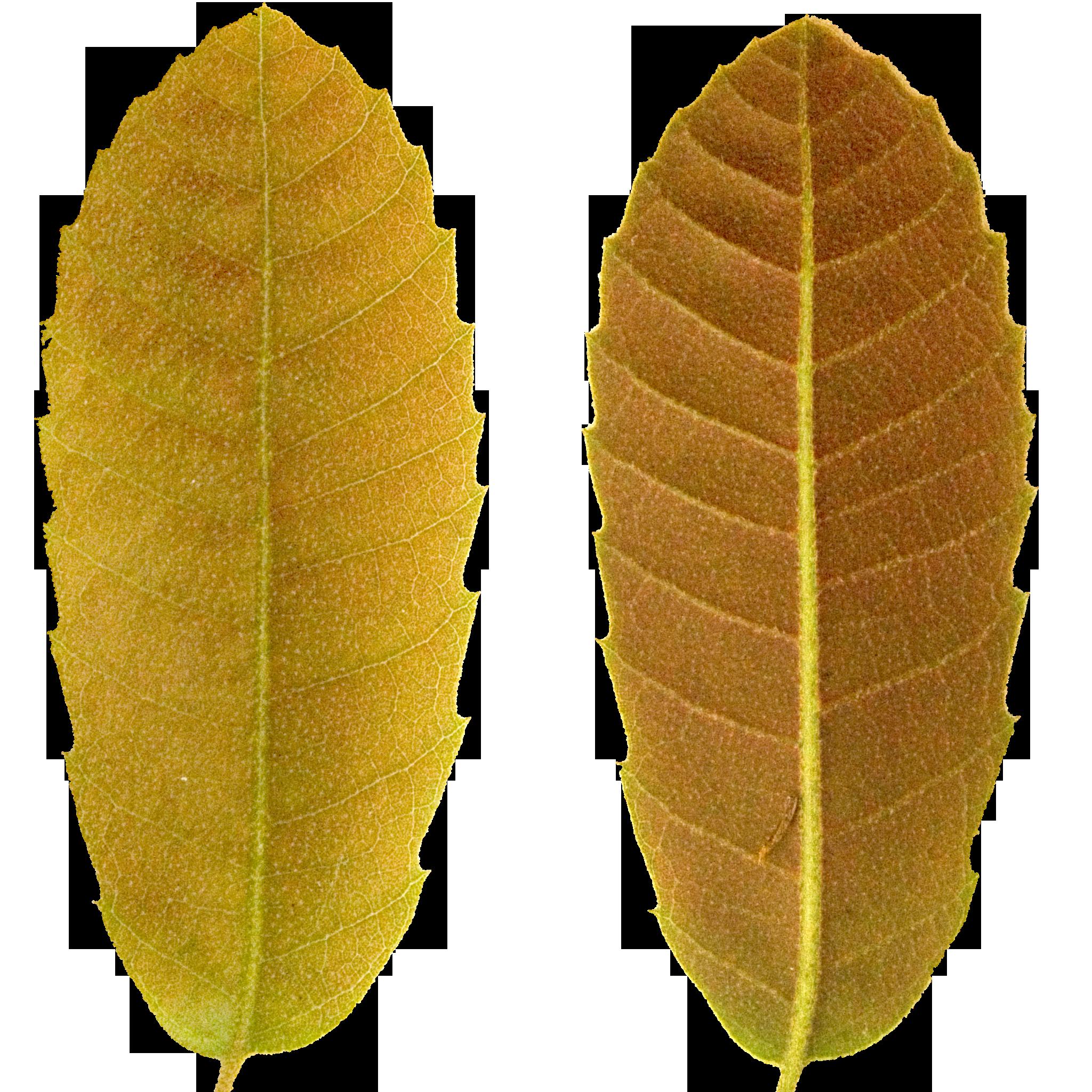 Brown Pointed Leaf.png