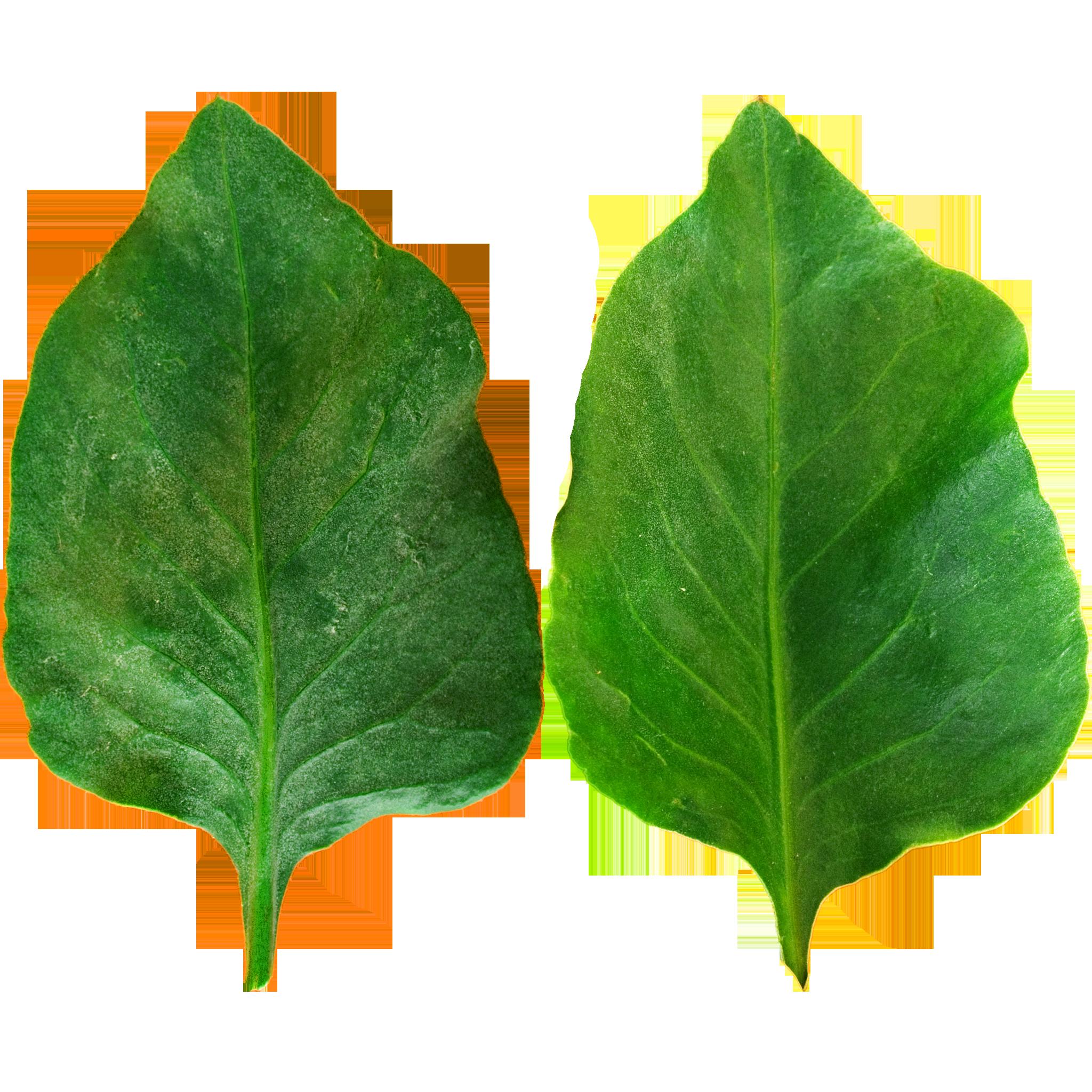 Dark Green Wavy Leaf.png