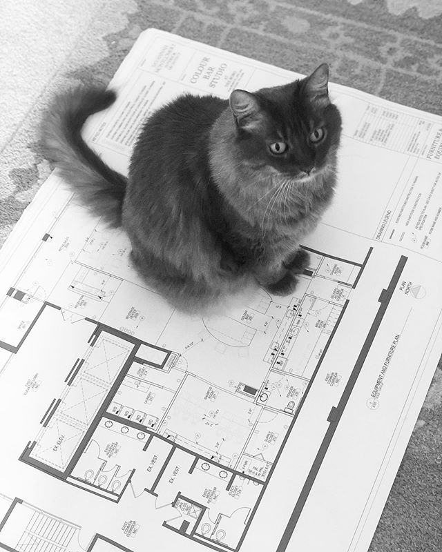 Coco Chanel loves to help out.  It's amazing I get anything accomplished!  @colourbarstudio  #designassistant @montgomeryhomedesign.com.  #russianblue