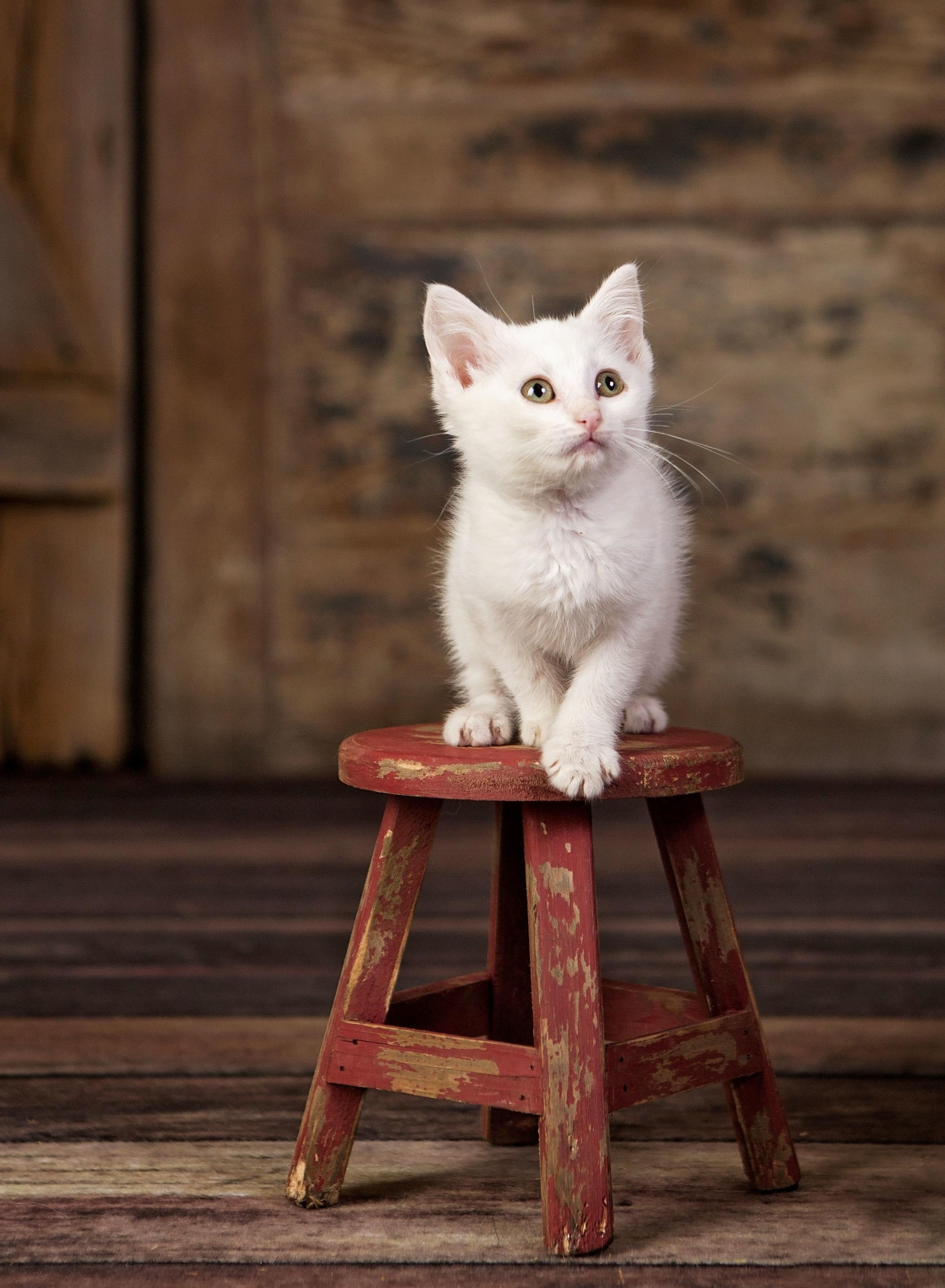 Pet-Photographer-St. Louis-Kitten-15.jpg