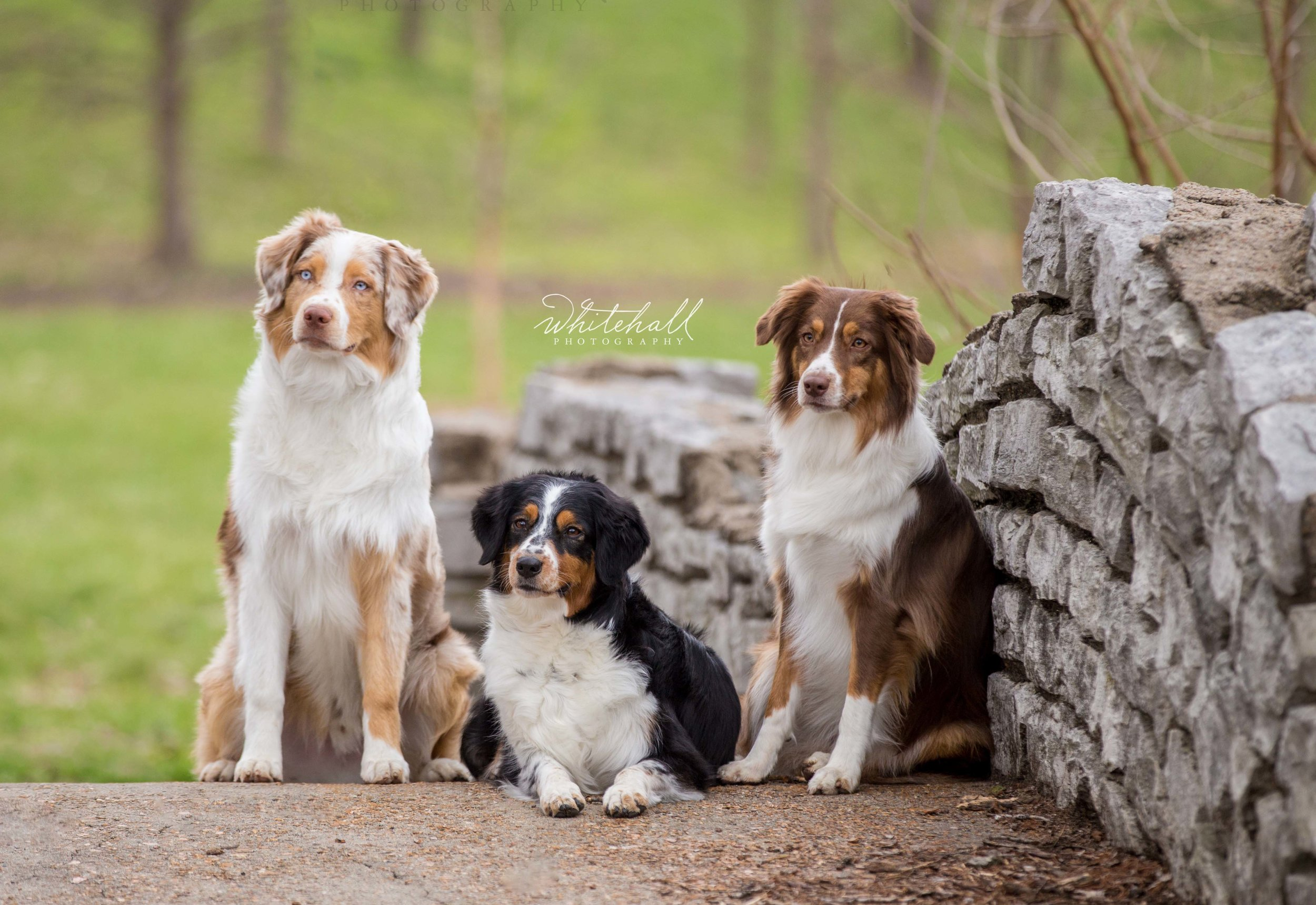 Aussies St Louis Pet Photographer Ballwin Chesterfield Wildwood.jpg